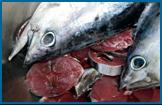 very fresh: native tuna